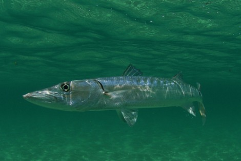 Barracouta swimming in the ocean