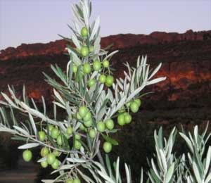 A mystery of olive groves and aloof neighbours