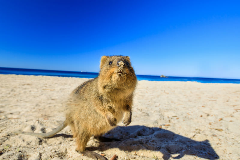 Quokka on Basin Beach at Rottnest Island (Getty Images/bennymarty)