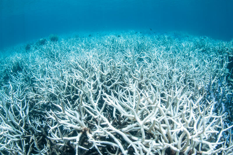 A field of bleached coral (Getty images/Brett Monroe Garner)