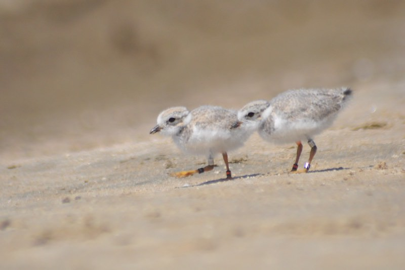 Plover chicks (Flickr/Ethan Gosnell)