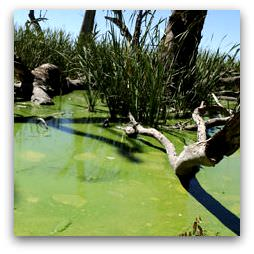 Blue-Green Algae in Murray River