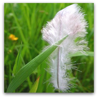 Dove feather in grass, Flickr image by zenera