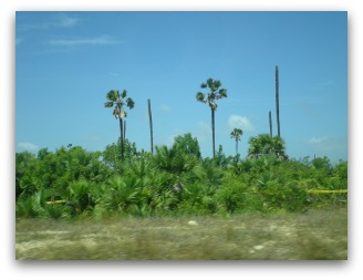 Coconut palms have lost their heads due to shelling during the war, Jaffna peninsula