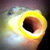 Carp with mouth open