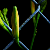 Flower caught in chain fence