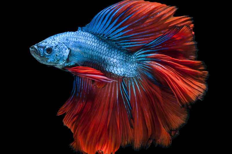 Samurai fighting fish