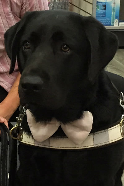 Casey's guide dog Bridget wearing a bow tie